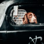 Spaniel in Black Cab thinking about pollution